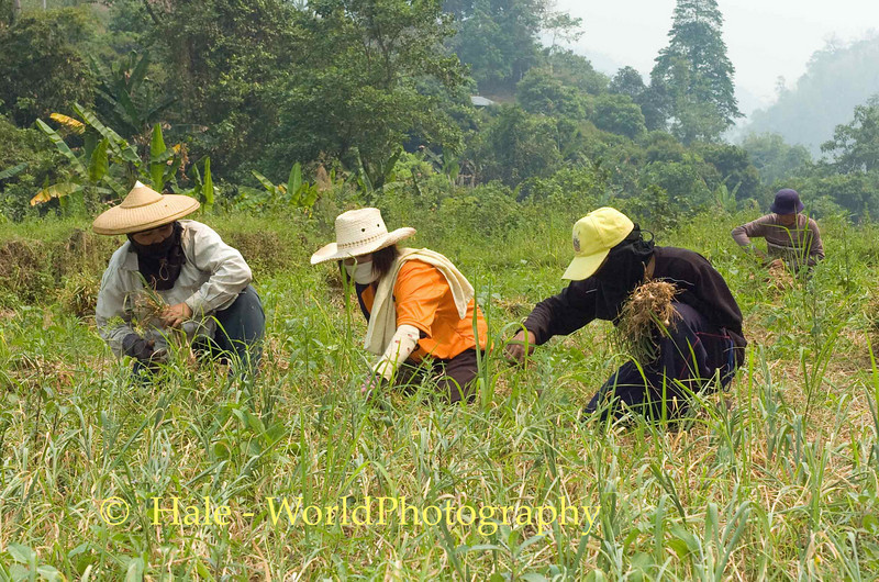 Shan Women Field Workers Harvesting Garlic From Rice Paddy