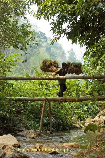 Worker Carrying Garlic Bunches Across Bambbo Bridge, Baan Nai Soi, Thailand