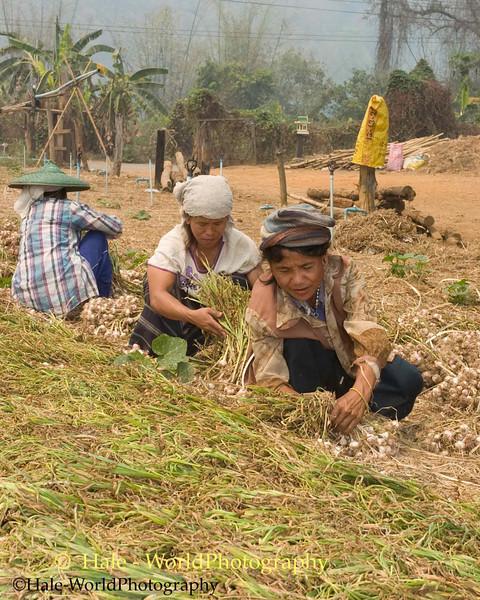 Shan Women Gathering Dried Garlic - Ban Nai Soi, Thailand