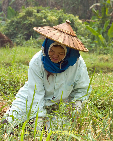 Shan Woman Field Worker Harvesting Garlic From Rice Paddy
