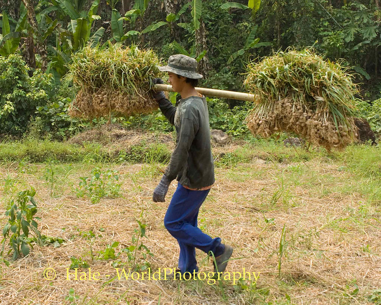Shan Field Worker Carrying Dry Garlic Bulbs Across Rice Paddy