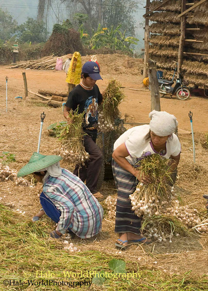 Shan People Preparing Garlic to be Hung in Drying Barn
