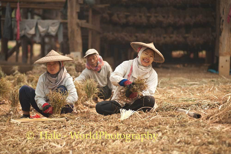 Shan Workers Bundle Garlic In Front of Barn