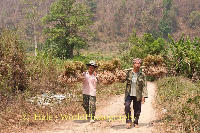 Shan Workers Hauling Garlic In Maehongson Province