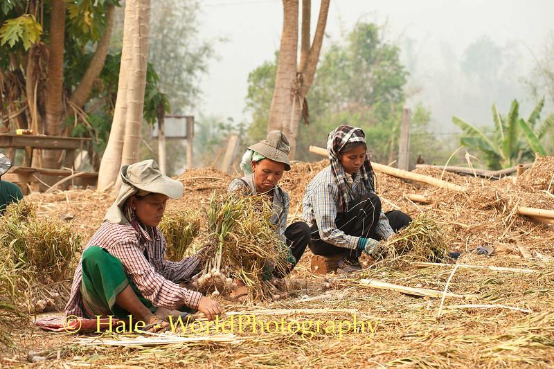 Bundling Garlic In Ban Nai Soi