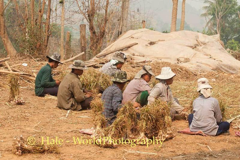 Workers Bundling Garlic