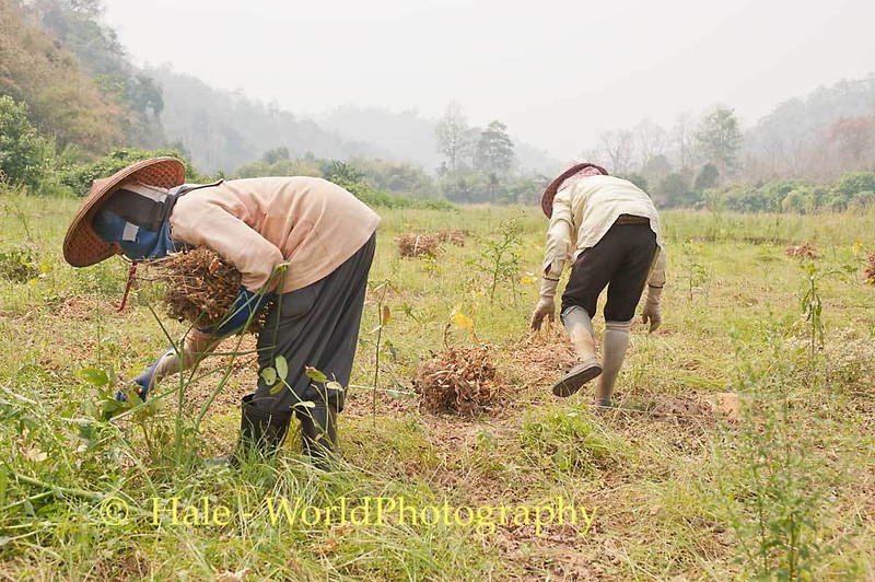 Shan Farm Workers Harvesting Soybeans