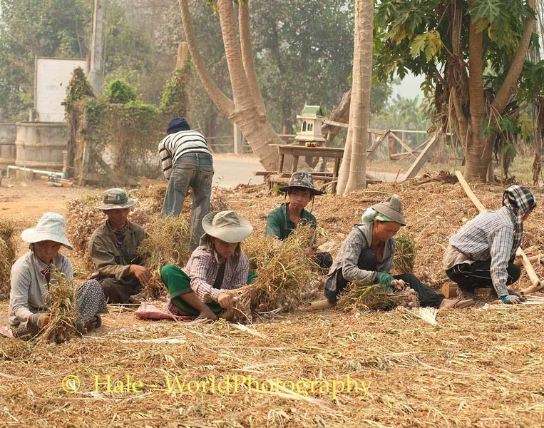 Workers Bundling Garlic To Hang In Drying Shed