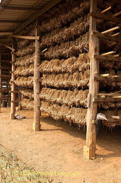Racks of Garlic Drying in Barn Located In Ban Nai Soi