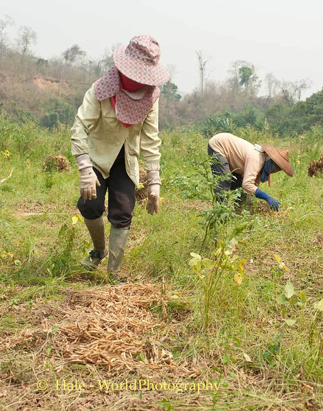 Harvesting Soybeans In Maehongson Province, Thailand