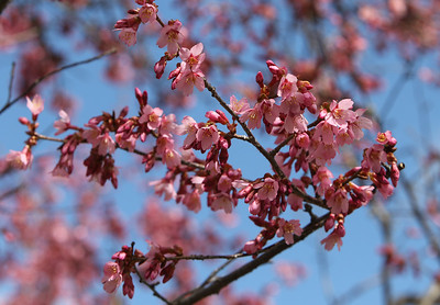 People enjoy spring weather at Shedd Park during Covid-19 emergency. Cherry tree blooming at Shedd Park. (SUN/Julia Malakie)
