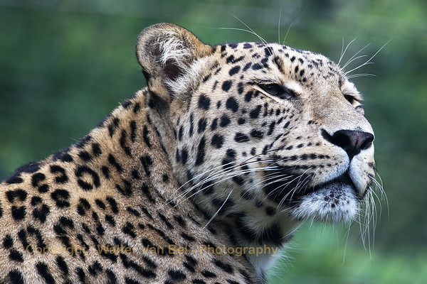 """Leopard at Beekse Bergen (NL). The Leopard is one of the five """"big cats"""" in the genus Panthera."""