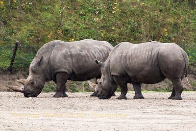 Two Rhino's in the rain at Safaripark Beekse Bergen (NL).