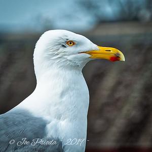 A Seagull Portrait
