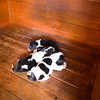 5 day old Bagel Hounds, 3 males (spotted black and white) and 1 female (mostly black with white around the neck)