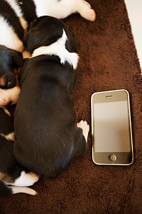 Suki, 17 days old.  Next to my Iphone 3GS to see how big she's getting.