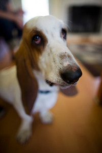 Lola the Basset Hound