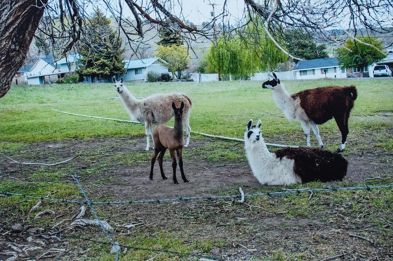 Llamas 2011