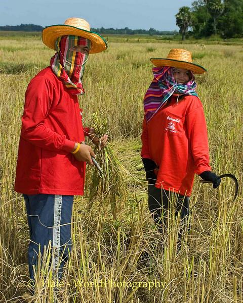 Isaan Rice Harvesting Team, Tahsang Village Thailand