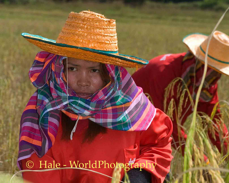 Harvesting Rice in Isaan