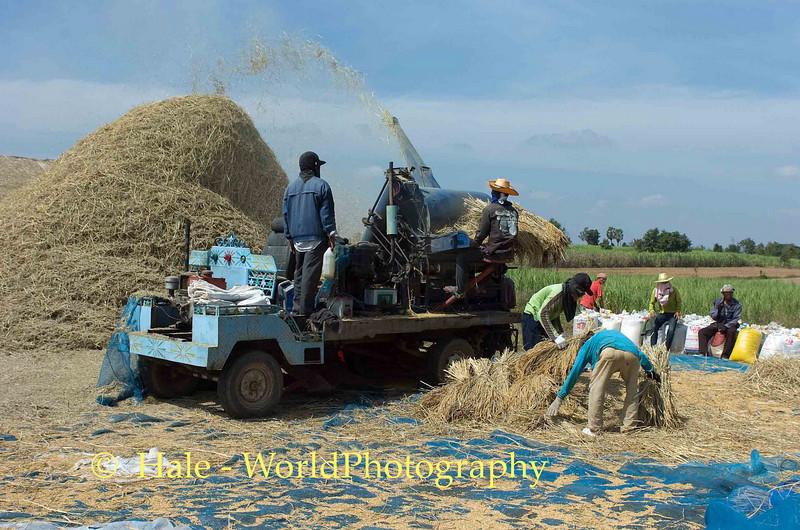 Threshing Rice In Isaan