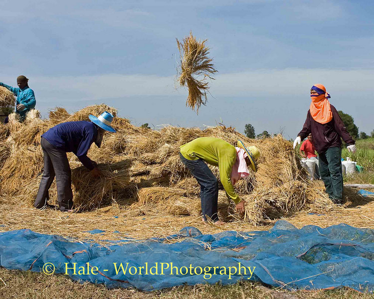 Threshing Rice, Tahsang Village, Isaan, Thailand