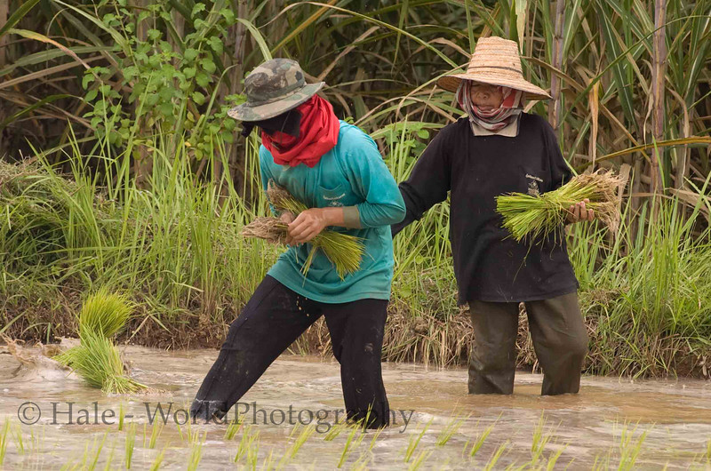 Isaan Rice Farmers Planting Rice