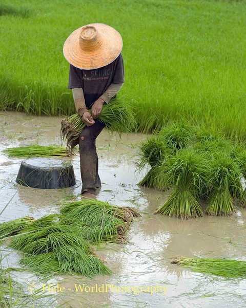 Making Sheaves of Rice Sprouts In Isaan, Tahsang Village Thailand