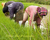 Isaan Family Tending Rice Sprouts, Tahsang Village Thailand