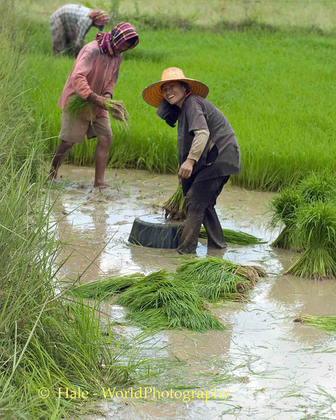 Working in the Fields of Isaan, Tahsang Village Thailand