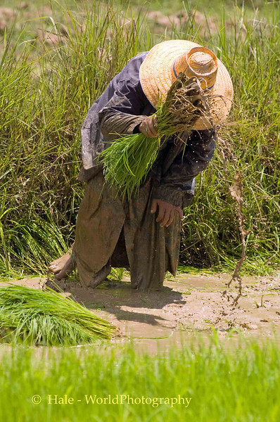 Shaking the Rice Sprouts, Isaan Region Thailand