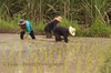 Isaan Thailand Farmers Planting Rice