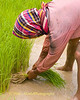 Pulling Rice Sprouts Out of the Mud, Isaan Region Thailand