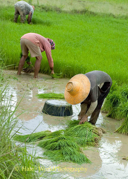 Isaan Rice Cultivation, Tahsang Village Thailand