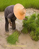 Isaan Farmer In A Rice Paddy, Tahsang Village Thailand