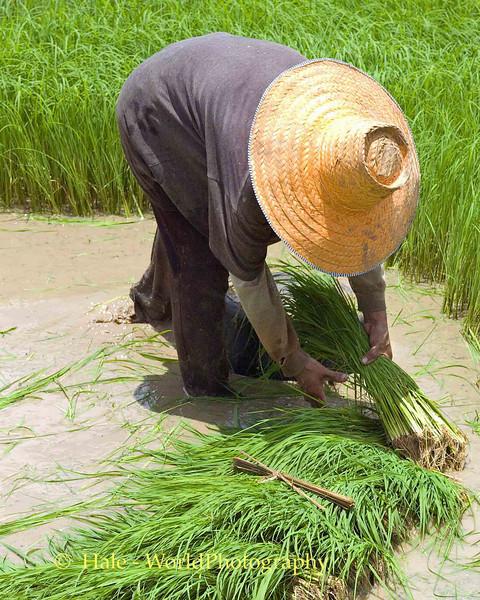 Isaan Farmer Tending Rice Sprouts, Tahsang Village Thailand