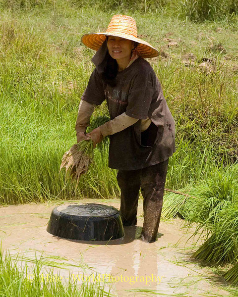 Isaan Farmer Tending Rice Sprouts, Tahsang Village Thailand
