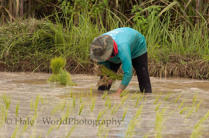 Isaan Thailand Farmer Planting Rice