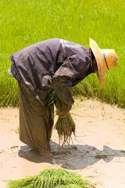 Ankle Deep In Mud, Waist High Wet, Isaan Region Thailand