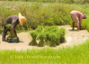 Isaan Farmers At Work, Tahsang Village Thailand