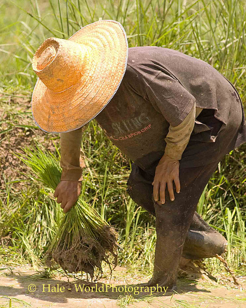 Isaan Farmer Working In the Mud, Tahsang Village Thailand