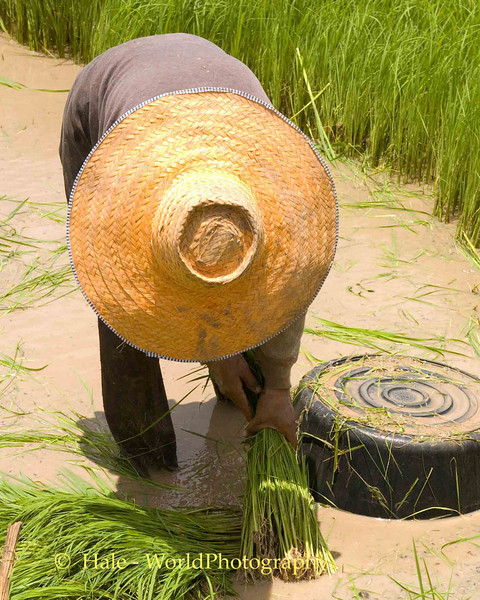 Tending The Rice, Isaan Region Thailand