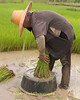 Isaan Farmer Tending Her Rice Sprouts, Tahsang Village Thailand
