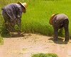 Isaan Women Working In Family's Rice Paddy, Tahsang Village Thailand