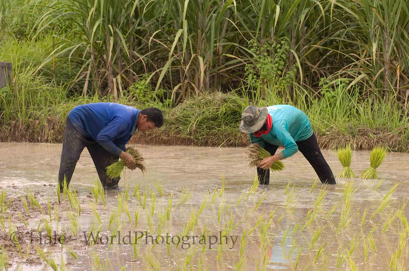 Isaan Rice Planting, Thailand
