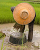 Rice Cultivation, Isaan Thailand