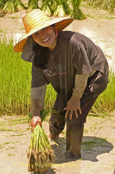 Isaan Woman Working Her Family's Rice Paddy, Tahsang Village Thailand