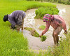 Isaan Farmers Tending Rice Sprouts, Tahsang Village Thailand