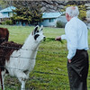 Llamas in pasture down the block with R Scott 2011