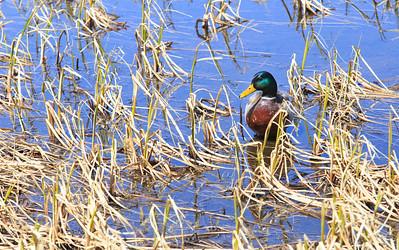 Duck at Bierstadt Lake, Rocky Mountain National Park, Colorado, USA